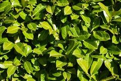 绿色留下叶子厂布什自然黑色莓果绽放太阳太阳 库存照片