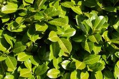 绿色留下叶子厂布什自然黑色莓果绽放太阳太阳 免版税图库摄影