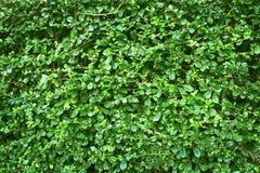 绿色留下墙壁树篱芭纹理或背景  背景和设计的自然样式 免版税库存照片