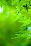 绿色留下槭树 库存照片