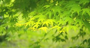 绿色留下槭树 免版税库存照片
