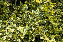 绿色留下灌木 库存照片