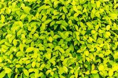 绿色留下纹理背景 横幅或背景概念的自然样式 库存图片