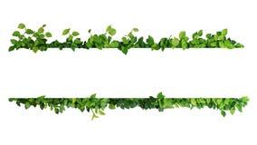 绿色留下自然恶魔` s常春藤或金黄pothos框架边界  库存照片