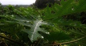 绿色番木瓜叶子自然风景和适用于墙纸 免版税图库摄影