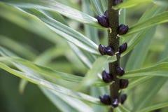 绿色百合发芽背景,新和新鲜的叶子照片 免版税库存图片