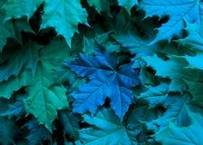 绿色的枫叶和与一片大蓝色叶子的蓝色树荫 免版税库存照片