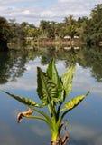 绿色的植物与在导致难以置信的反射的湖前面的大叶子 免版税库存照片