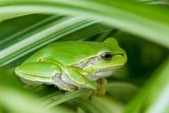 绿色的青蛙一点 免版税图库摄影