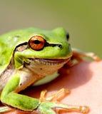 绿色的青蛙一点 图库摄影