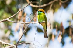绿色的食蜂鸟一点 免版税库存图片