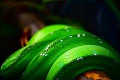 绿色皮肤蛇 图库摄影