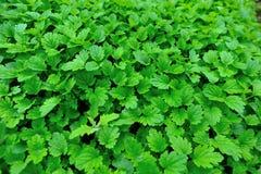 绿色益母草植物 库存图片