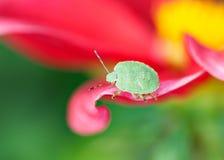 绿色盾臭虫Palomena prasina) 库存照片