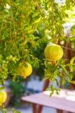 绿色石榴石果子 热带的结构树 地中海植物 火鸡 免版税库存照片