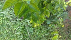 绿色石灰植物 库存照片