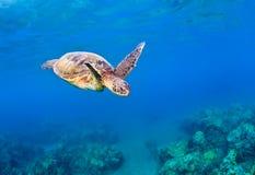 绿色礁石海龟 库存图片