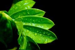 绿色离开与水下落在黑背景 免版税库存照片