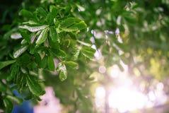 绿色离开与水滴在与绿色bokeh bac的雨以后 免版税库存图片