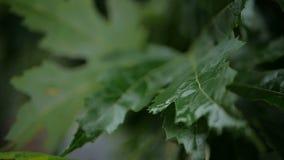 绿色离开,在树下落的森林公园雨 慢的行动 股票录像