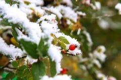 绿色离开,红色莓果狂放上升了,白色雪 下雪 库存照片