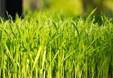 绿色稻工厂年轻人 免版税库存照片