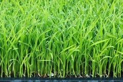 绿色稻工厂米年轻人 免版税库存照片