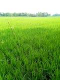 绿色稻田 免版税库存照片