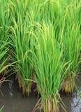 绿色稻 免版税库存图片