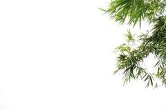 绿色竹叶子,绿色热带叶子纹理隔绝在文件白色背景与裁减路线的 免版税库存照片