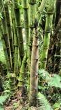绿色竹子在热带密林。 库存图片