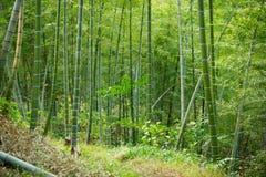 绿色竹森林在中国 免版税库存照片