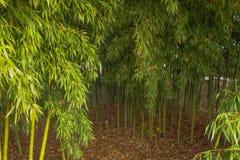 绿色竹森林 免版税库存图片