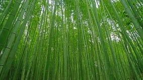 绿色竹植物森林在日本禅宗庭院里 库存图片