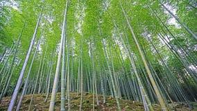 绿色竹植物森林在日本禅宗庭院里 免版税库存图片