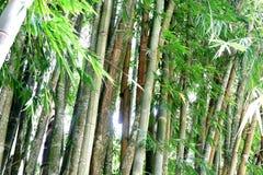 绿色竹背景在庭院里 库存图片