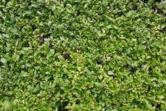 绿色篱芭作为背景 免版税库存图片