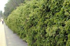 绿色篱芭 库存图片