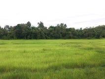 绿色米农厂稻田 免版税库存照片