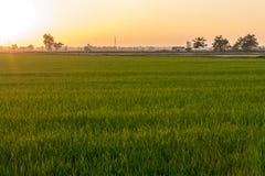 绿色米叶子领域视图有橙色光的在晚上 免版税库存图片