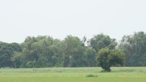 绿色米和树的秀丽在风的摇动 股票录像