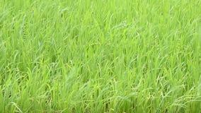 绿色米的秀丽在风的摇动 影视素材