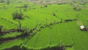 绿色米种植园鸟瞰图 在绿色稻田的寄生虫飞行在亚洲村庄 r 影视素材
