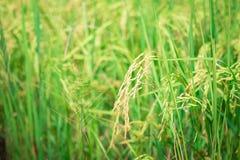 绿色米进入种田植物培养的农业领域早期  免版税库存照片