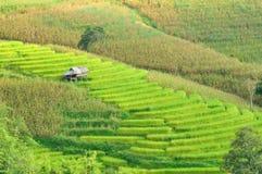 绿色米领域。 免版税库存照片