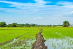 绿色米领域和天空 免版税库存照片