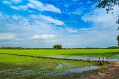 绿色米领域和天空 免版税图库摄影