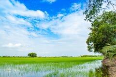 绿色米领域和天空 库存图片