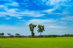 绿色米领域和天空 库存照片