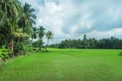 绿色米领域和密林有棕榈树的在自然风景 晴朗的天气的热带植物在斯里兰卡 免版税图库摄影